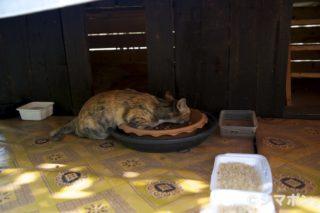 タイの猫 その3